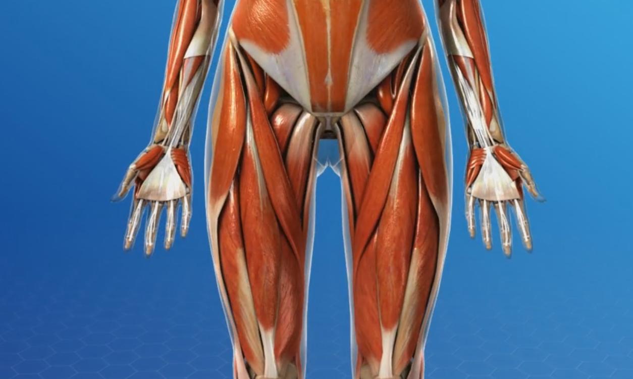 What is a Hip Flexor?