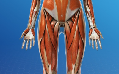What is a Hip Flexor?